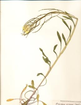 Erysimum perenne image