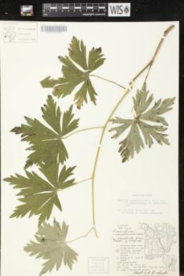 Aconitum columbianum subsp. columbianum image