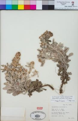 Image of Gamochaeta ustulata