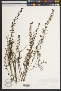 Image of Seymeria glandulosa
