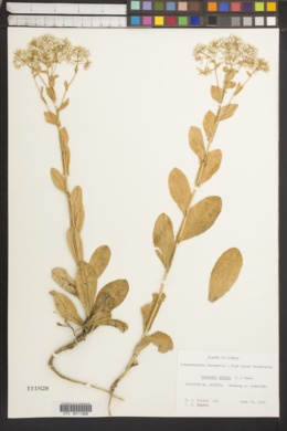 Lepidium draba image