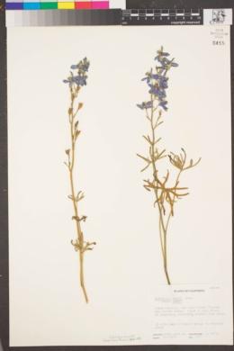 Delphinium parryi subsp. parryi image
