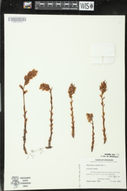 Hypopitys monotropa image