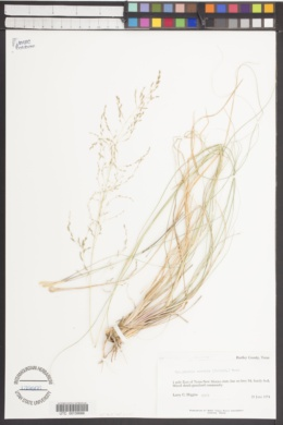 Eragrostis curvula image