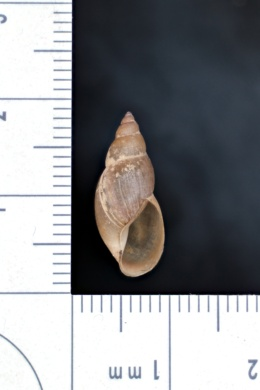 Image of Stagnicola elodes