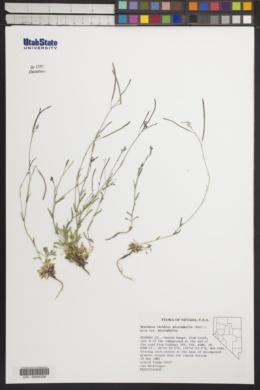 Boechera microphylla var. microphylla image