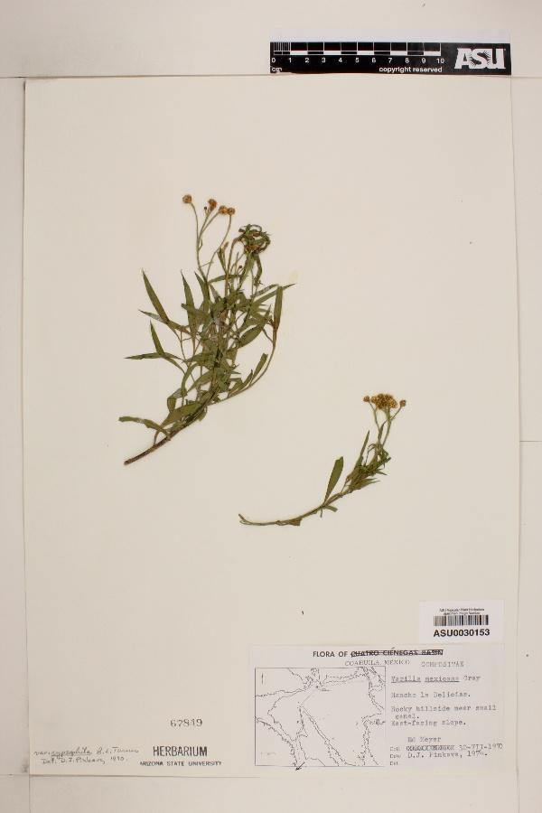 Varilla mexicana var. gypsophila image