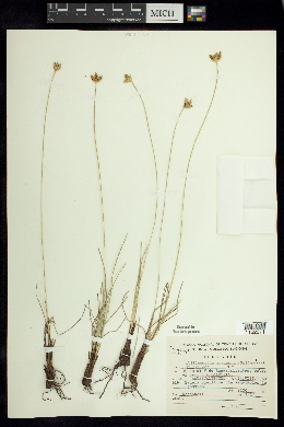 Image of Fimbristylis mexicana