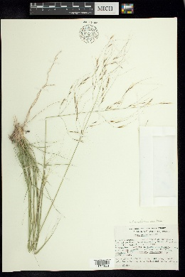 Image of Stipa acuta