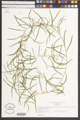 Image of Acacia leprosa