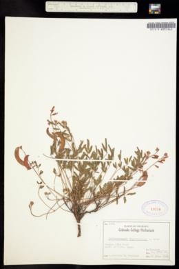 Image of Hoffmanseggia drepanocarpa