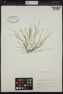 Haplogloia kuckuckii image