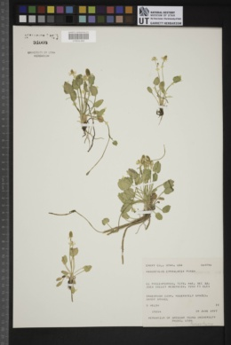 Ranunculus cymbalaria image