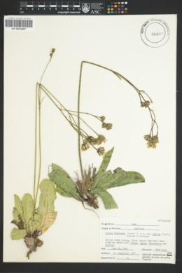 Crepis runcinata image