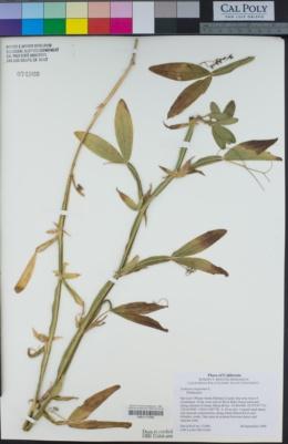 Lathyrus tingitanus image