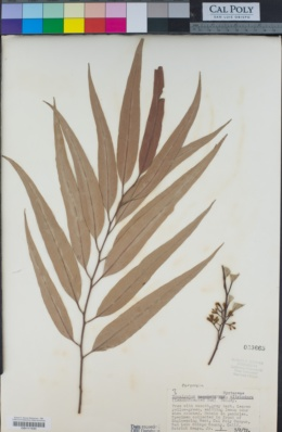 Corymbia citriodora image