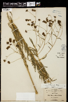 Image of Dalea pectinata
