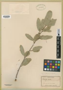 Sebastiania bilocularis image