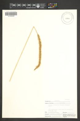Image of Setaria globulifera
