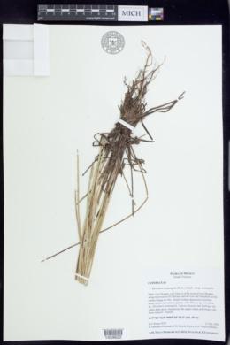 Eleocharis acutangula image