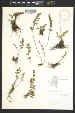 Myriopteris scabra image