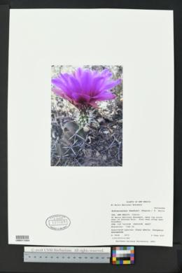 Echinocereus fendleri image