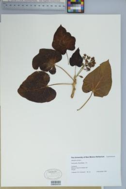 Jatropha curcas image