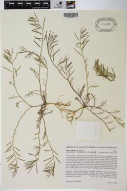 Planodes virginicum image