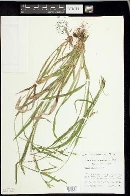 Carex leptonervia image