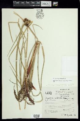Image of Oxycaryum cubense