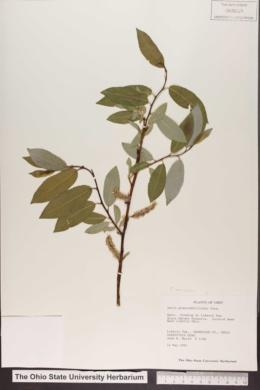 Salix myricoides image