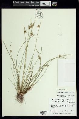 Image of Schoenoplectiella saximontana