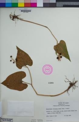 Maianthemum dilatatum image