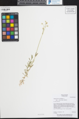 Cerastium arvense subsp. strictum image