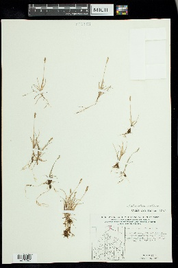 Image of Anthoxanthum arcticum
