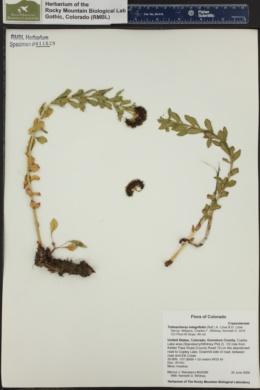 Image of Tolmachevia integrifolia