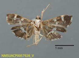 Hymenia perspectalis image