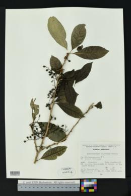 Image of Achatocarpus nigricans