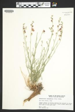 Sphaeralcea leptophylla image