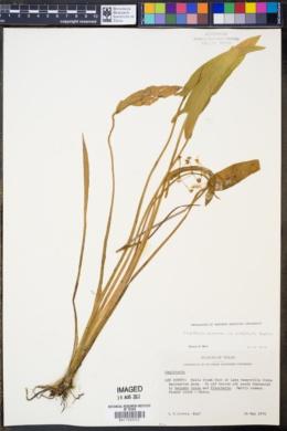 Sagittaria graminea var. platyphylla image