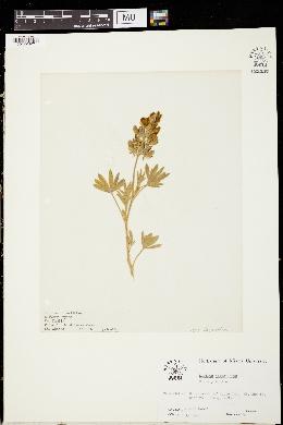 Image of Lupinus obtusilobus