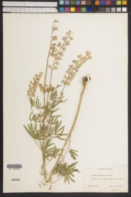 Image of Lupinus amniculi-putori