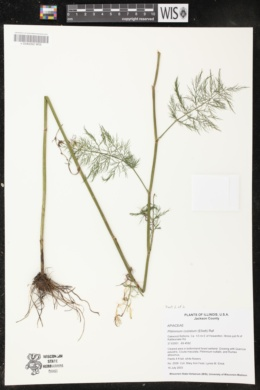 Ptilimnium costatum image
