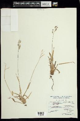 Ixophorus unisetus image