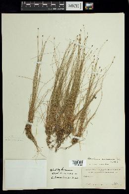 Image of Eleocharis bonariensis