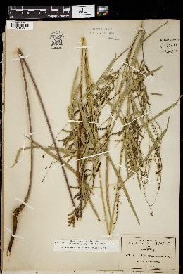 Desmodium angustifolium image