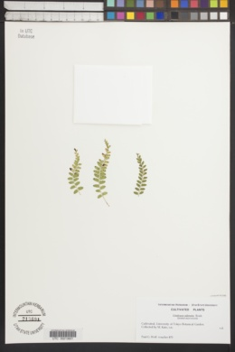 Image of Lindsaea odorata