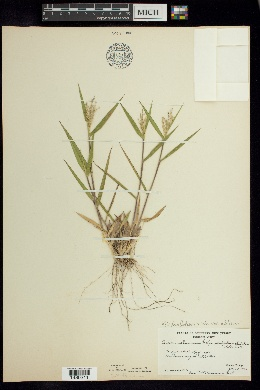 Dichanthelium ovale var. addisonii image