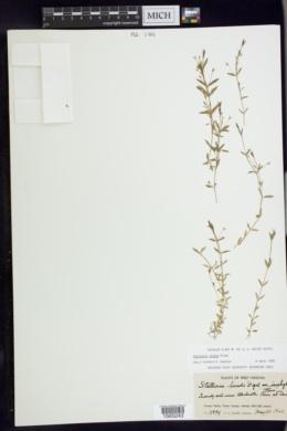 Stellaria alsine image