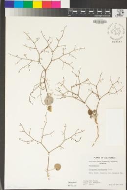 Eriogonum brachypodum image